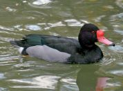 Rosy-billed Pochard (Netta peposaca) ©WikiC