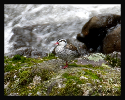 Torrent Duck (Merganetta armata) by Robert Scanlon
