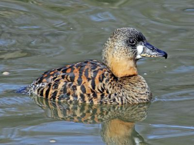 White-backed Duck (Thalassornis leuconotus) ©WikiC