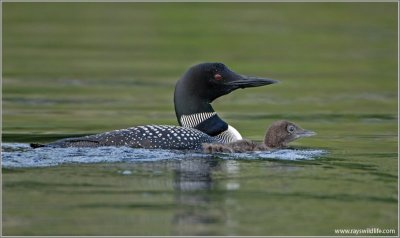 Common Loon (Gavia immer) with young by Raymond Barlow