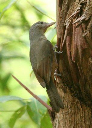 Arafura Shrikethrush (Colluricincla megarhyncha) ©WikiC