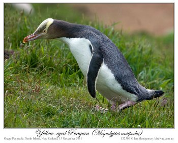 Yellow-eyed Penguin (Megadyptes antipodes) by Ian 1