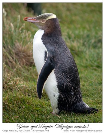 Yellow-eyed Penguin (Megadyptes antipodes) by Ian 2