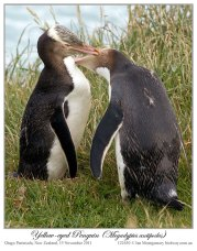 Yellow-eyed Penguin (Megadyptes antipodes) by Ian 3