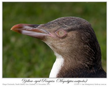 Yellow-eyed Penguin (Megadyptes antipodes) by Ian 4 juvenile