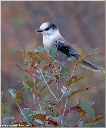 Grey Jay (Perisoreus canadensis) by Raymond Barlow