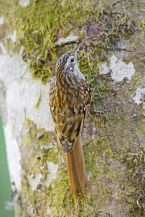 Brown-throated Treecreeper (Certhia discolor) WikiC