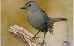 Minnesota Bird Songs