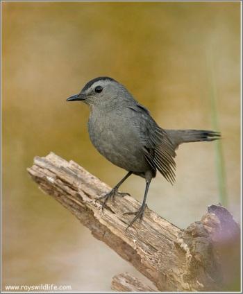 Grey Catbird (Dumetella carolinensis) by Raymond Barlow