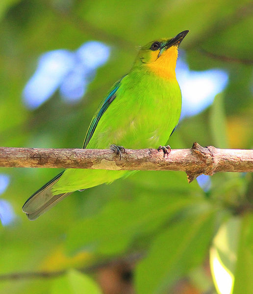 Yellow-throated Leafbird (Chloropsis palawanensis) @WikiC