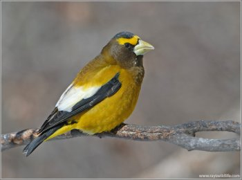Evening Grosbeak (Hesperiphona vespertina) male by Raymond Barlow