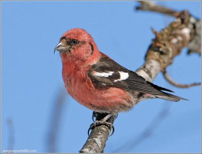 Two-barred Crossbill (Loxia leucoptera)(White-winged) by Raymond Barlow