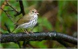 Ovenbird (Seiurus aurocapilla) by Raymond Barlow