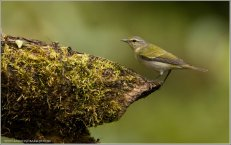 Tennessee Warbler (Leiothlypis peregrina) by Raymond Barlow