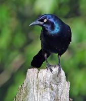 Common Grackle (Quiscalus quiscula) by Raymond Barlow