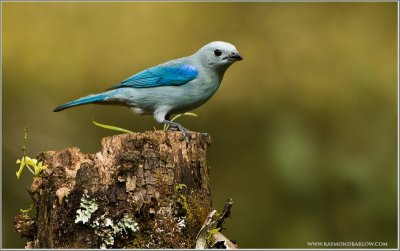 Blue-grey Tanager (Thraupis episcopus) by Raymond Barlow