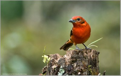 Flame-colored Tanager (Piranga bidentata) by Raymond Barlow