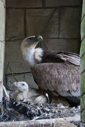 Griffon Vulture (Gyps fulvus) Dieren Park Amersfoort -adult and chick WikiC