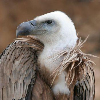 Griffon Vulture (Gyps fulvus) ©WikiC