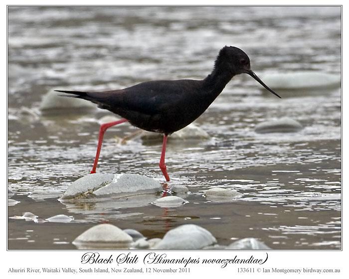 Black Stilt (Himantopus novaezelandiae) 1 by Ian