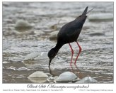 Black Stilt (Himantopus novaezelandiae) 2 by Ian