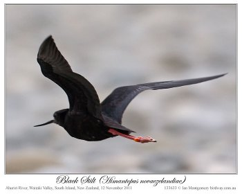 Black Stilt (Himantopus novaezelandiae) 3 by Ian