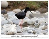 Black Stilt (Himantopus novaezelandiae) 4 by Ian