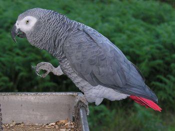 Grey Parrot (Psittacus erithacus) ©WikiC