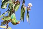Swift Parrot (Lathamus discolor) CC marj k