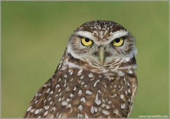 Burrowing Owl (Athene cunicularia) by Raymond Barlow