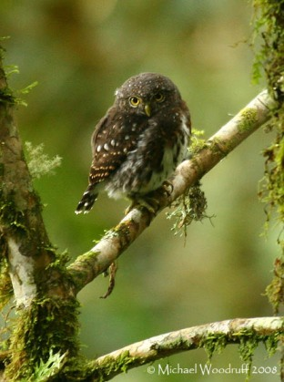 Costa Rican Pygmy Owl (Glaucidium costaricanum) by Michael Woodruff