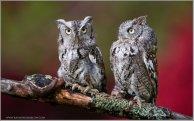 Eastern Screech Owl (Megascops asio) (captive) by Raymond Barlow