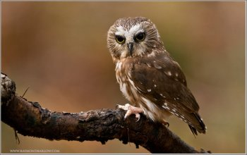 Northern Saw-whet Owl (Aegolius acadicus) (captive) by Raymond Barlow