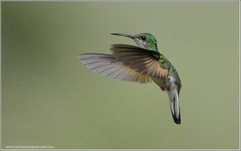 Stripe-tailed Hummingbird (Eupherusa eximia) Female by Raymond Barlow