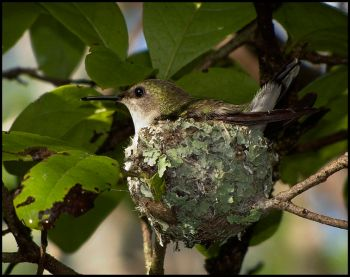 Vervain Hummingbird (Mellisuga minima) ©WikiC