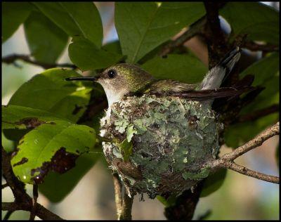 Vervain Hummingbird (Mellisuga minima) WikiC