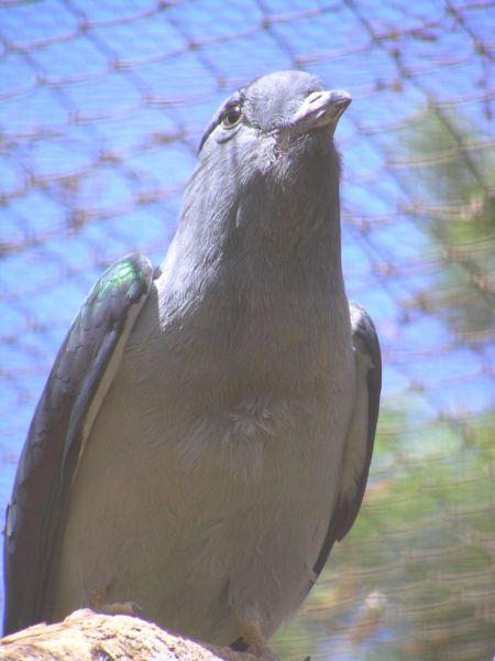 Cuckoo Roller (Leptosomus discolor) Female WikiC