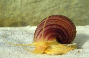 Apple Snail - (Ampullariidae, common name the apple snails) WikiC