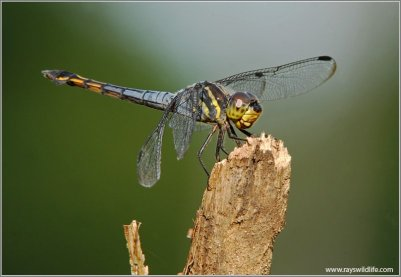 Dragonfly by Raymond Barlow