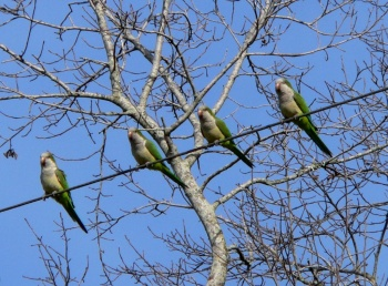 Monk Parakeets at S Lake Howard Nature Park by Lee