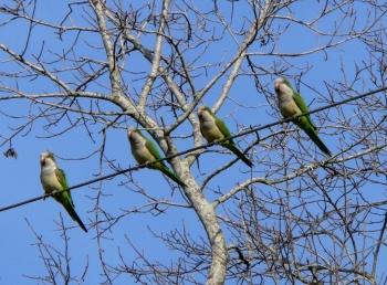 Monk Parakeets at S Lake Howard Nature Park by Lee