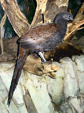 Mountain Peacock-Pheasant (Polyplectron inopinatum) ©WikiC