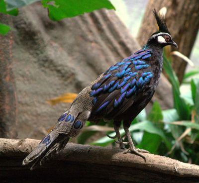 Palawan Peacock-Pheasant (Polyplectron napoleonis) M ©WikiC