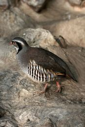 Rock Partridge (Alectoris graeca) WikiC
