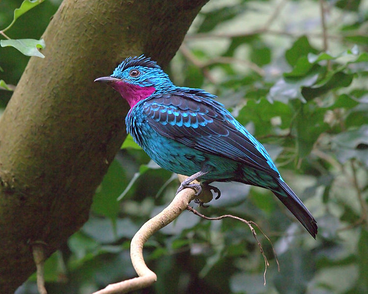 Spangled Cotinga (Cotinga cayana) ©WikiC CinZoo Photo by Greg Hume