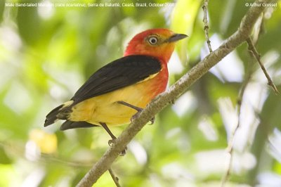 Band-tailed Manakin (Pipra fasciicauda) by ©AGrosset