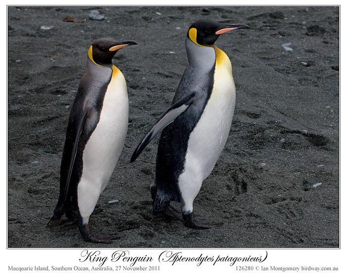 King Penguin (Aptenodytes patagonicus) 1 by Ian
