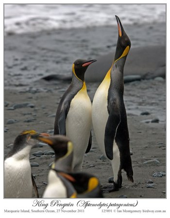 King Penguin (Aptenodytes patagonicus) 2 by Ian