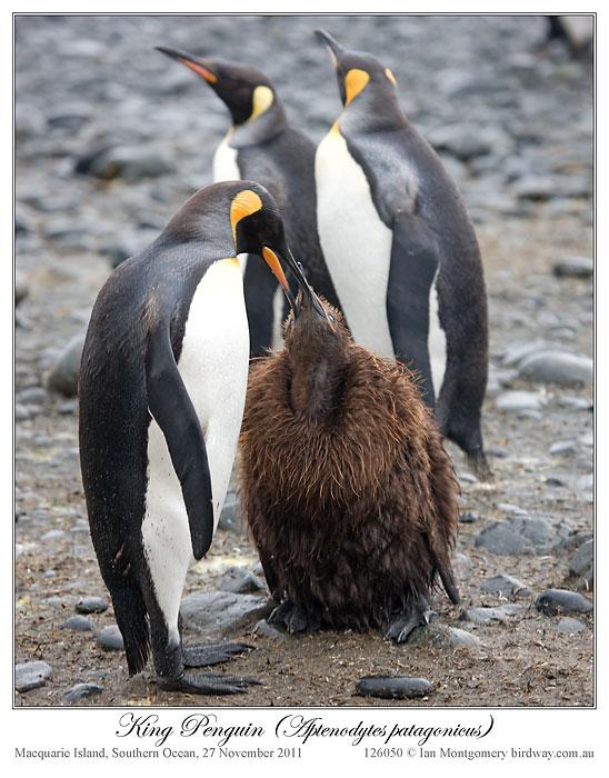 King Penguin (Aptenodytes patagonicus) 4 by Ian