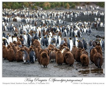 King Penguin (Aptenodytes patagonicus) 5 by Ian